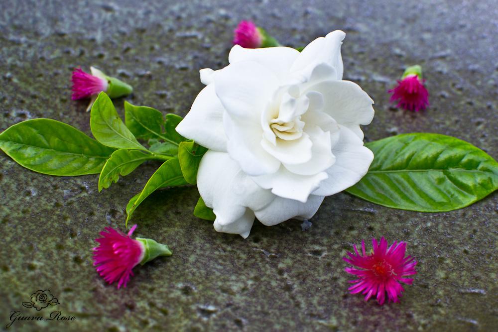 Gardenia, close up