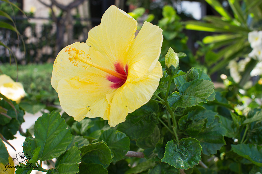 Yellow Hibiscus, side view