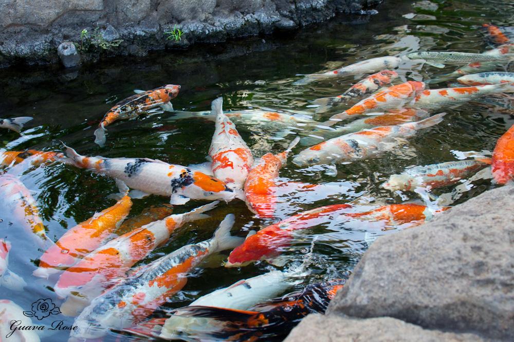 hoard of koi near bridge