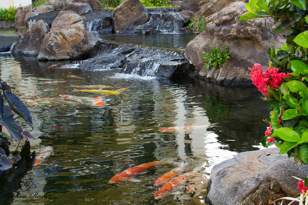 Koi fish near waterfall