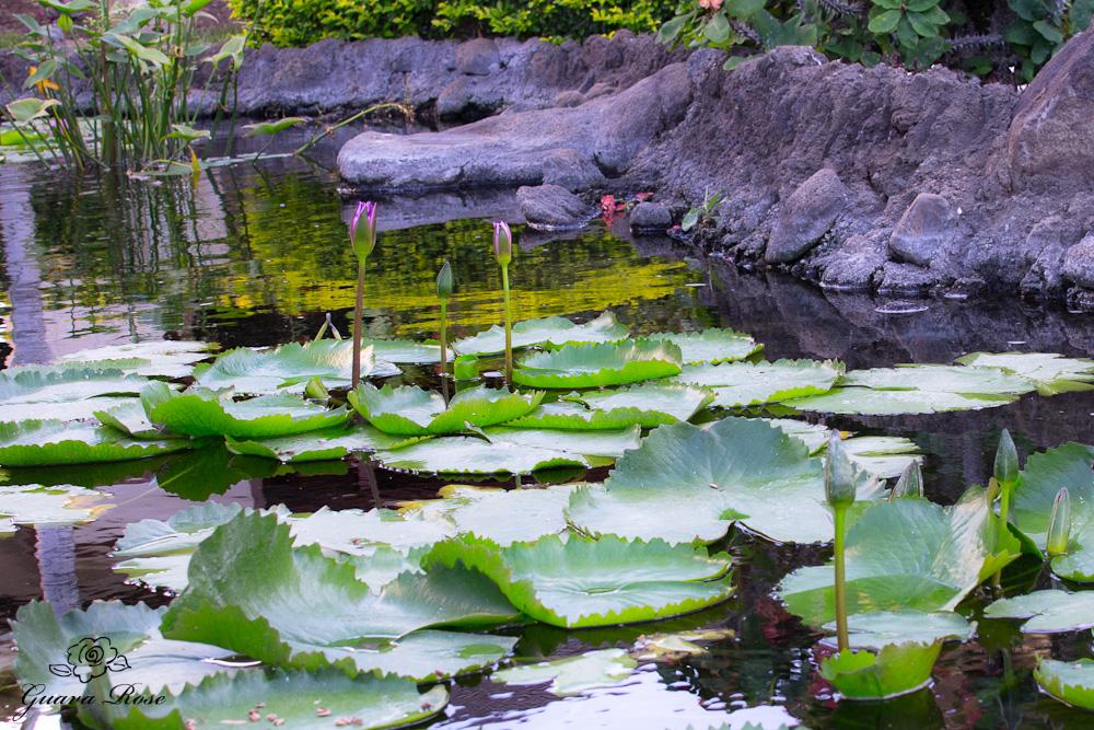 Lotus flower buds