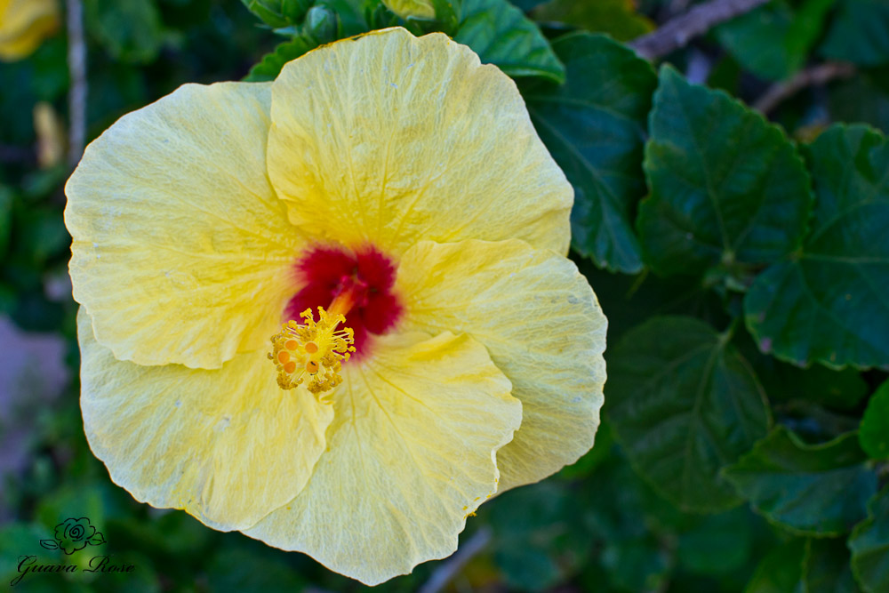 Yellow Hibiscus, close up