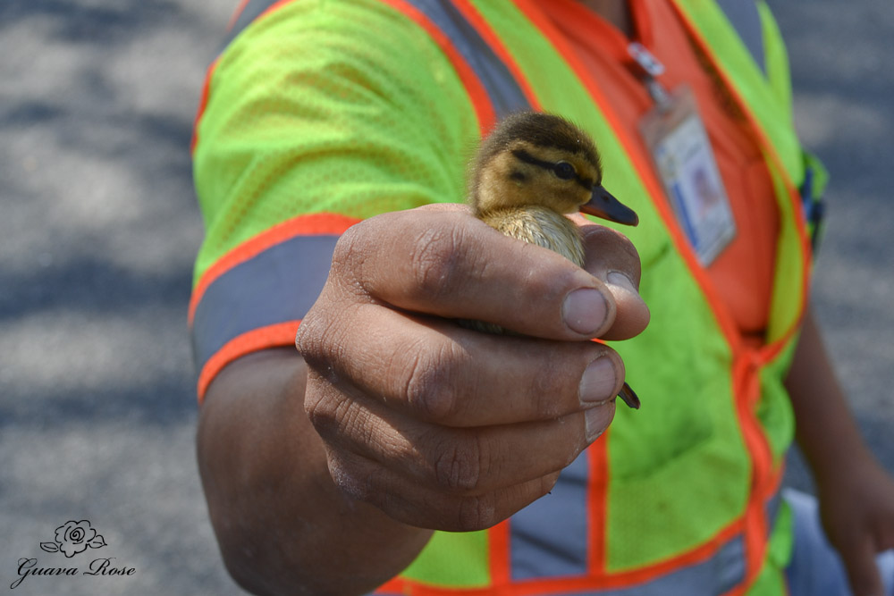 First duckling rescued, close up