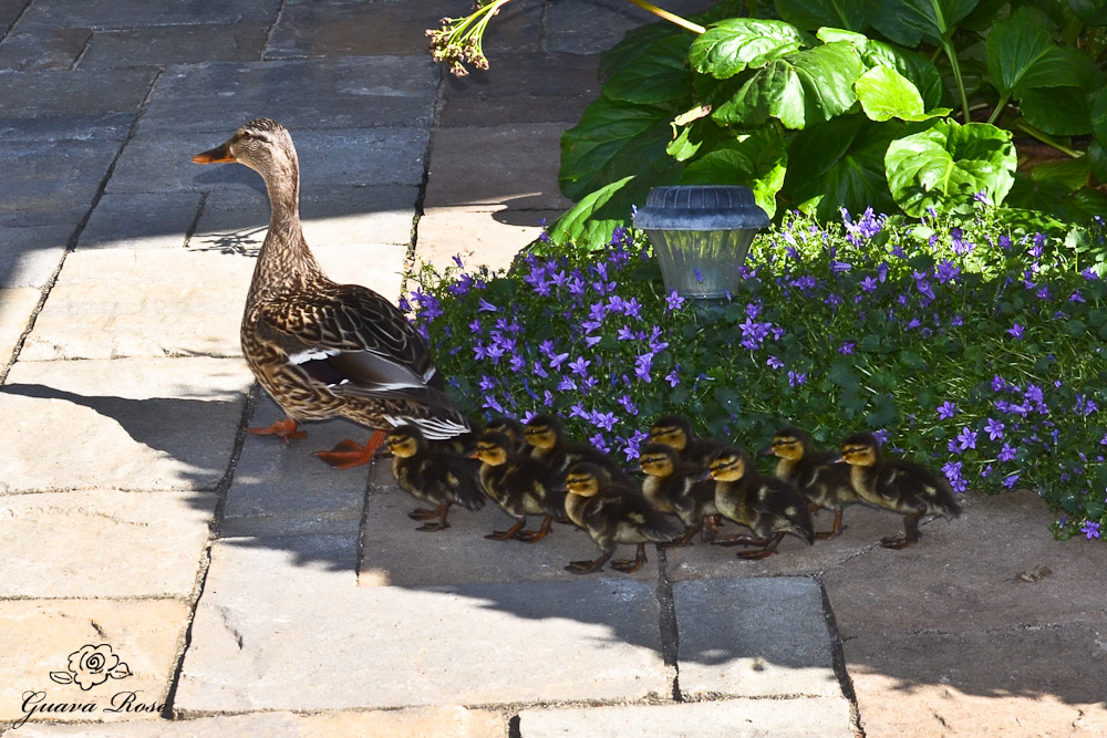 Mama duck and 11 ducklings reunited
