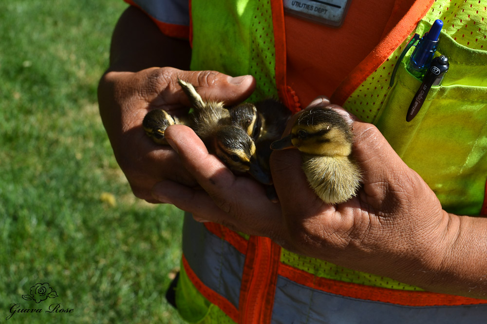 Five more ducklings rescued!